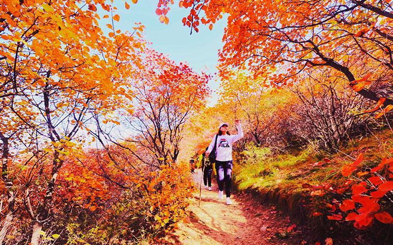 金沙河佛照山秋季漫山红叶,供游客免费观赏